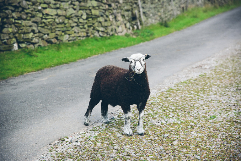 herdy sheep cumbria
